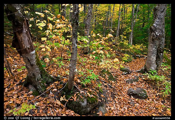 Forest and undergrowth in autumn. Baxter State Park, Maine, USA (color)