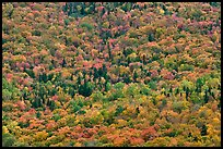 Tree canopy in the fall seen from above. Baxter State Park, Maine, USA