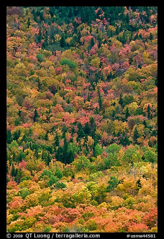 Aerial view of deciduous trees in fall foliage mixed with evergreen. Baxter State Park, Maine, USA (color)