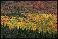 Ridge of conifers and deciduous trees with spotlight. Baxter State Park, Maine, USA