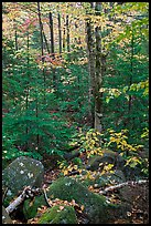 Forest with boulders, evergreen, and trees in autumn color. Baxter State Park, Maine, USA
