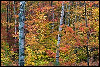 Autumn forest scene. Maine, USA
