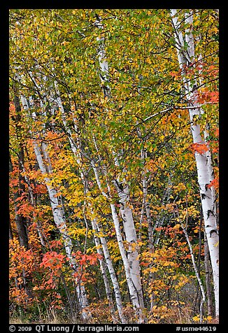 Birch trees in autumn. Baxter State Park, Maine, USA