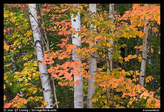 White birch trees and maple leaves in the fall. Baxter State Park, Maine, USA