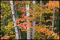 White birch trees and maple leaves in the fall. Baxter State Park, Maine, USA ( color)