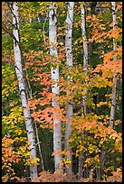 Group of birch trees and maple leaves in autumn. Baxter State Park, Maine, USA (color)