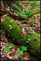 Moss-covered log in the fall. Allagash Wilderness Waterway, Maine, USA