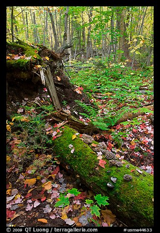Forest floor with moss-covered log. Allagash Wilderness Waterway, Maine, USA (color)