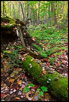 Forest floor with moss-covered log. Allagash Wilderness Waterway, Maine, USA
