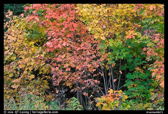 Yellow, red, and green leaves. Maine, USA (color)