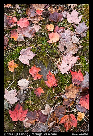 Red fallen maple leaves, moss and rock. Allagash Wilderness Waterway, Maine, USA (color)