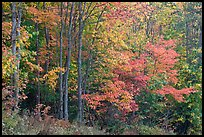 North woods trees with dark trunks in autumn foliage. Allagash Wilderness Waterway, Maine, USA