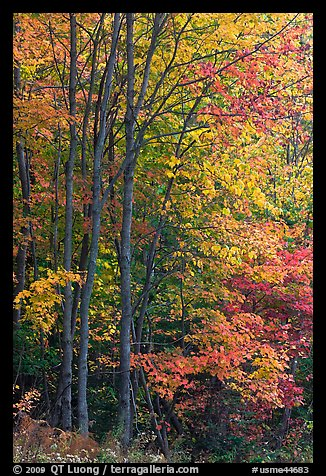 Northern trees with dark trunks in fall foliage. Allagash Wilderness Waterway, Maine, USA (color)