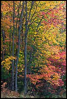 Northern trees with dark trunks in fall foliage. Allagash Wilderness Waterway, Maine, USA