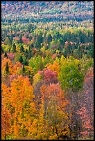 Septentrional forest in the fall. Maine, USA ( color)