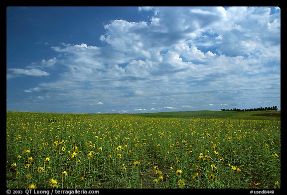 Field with sunflowers and clouds. North Dakota, USA (color)