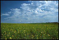 Field with sunflowers and clouds. North Dakota, USA ( color)