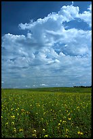 Field with sunflowers and clouds. North Dakota, USA