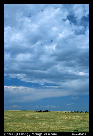 Open pasture with cows and clouds. North Dakota, USA (color)