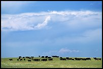 Open pasture with cows and clouds. North Dakota, USA ( color)