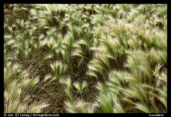 Close-up of Barley grass. North Dakota, USA (color)