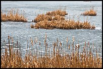 Reeds and frozen water. Walpole, New Hampshire, USA