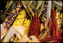 Multicolored corn. New Hampshire, USA (color)