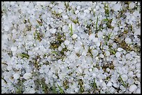 Close-up of hailstones covering meadow grass. Black Hills, South Dakota, USA (color)