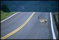 Pronghorn antelope crossing road, Custer State Park. Black Hills, South Dakota, USA (color)