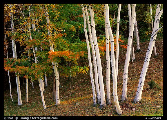 Birch trees. USA (color)