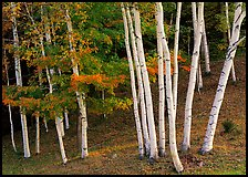 Birch trees. Vermont, New England, USA