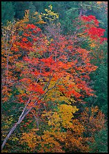 Maple tree with red leaves, Quechee Gorge. Vermont, New England, USA ( color)