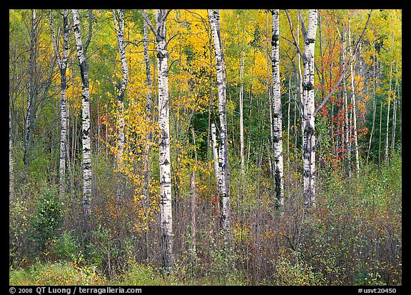Birch trees and yellow leaves. USA (color)
