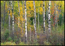 Birch trees and yellow leaves. Vermont, New England, USA ( color)