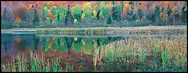 Pond with reeds and reflections of trees in autumn foliage. Vermont, New England, USA