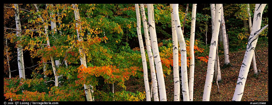 White birch trees and forest in autumn foliage. Vermont, New England, USA (color)