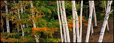 White birch trees and forest in autumn foliage. Vermont, New England, USA (Panoramic color)