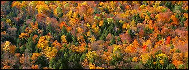 Trees in multicolored foliage on hillside. Vermont, New England, USA (Panoramic color)