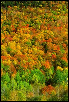 Hillside covered with trees in fall color, Green Mountains. Vermont, New England, USA ( color)