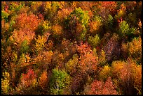 Hillside covered with trees in autumn color, Green Mountains. Vermont, New England, USA ( color)