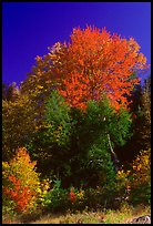 Bouquet of trees in fall foliage. Vermont, New England, USA (color)