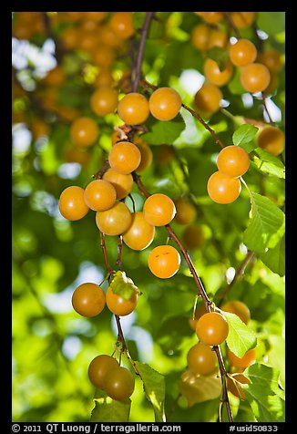 Close-up of cherry plums. Hells Canyon National Recreation Area, Idaho and Oregon, USA (color)