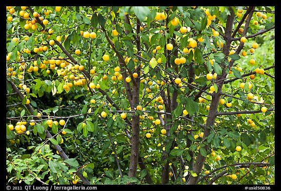 Plum tree with many fruits. Hells Canyon National Recreation Area, Idaho and Oregon, USA (color)
