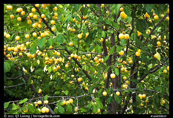 Abundance of ripe plums on tree. Hells Canyon National Recreation Area, Idaho and Oregon, USA (color)