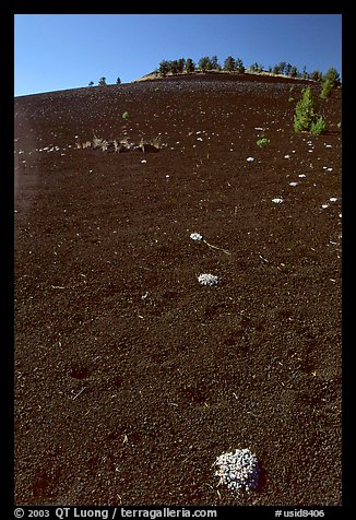 Shrubs growing in cinder, Craters of the Moon National Monument. Idaho, USA (color)