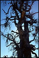 Backlit dead tree, Craters of the Moon National Monument. Idaho, USA ( color)