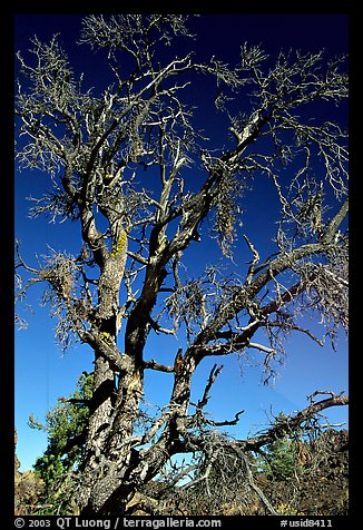 Dead tree, Craters of the Moon National Monument. Idaho, USA