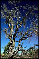 Dead tree, Craters of the Moon National Monument. Idaho, USA ( color)