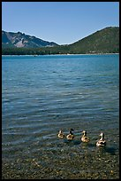 Ducks on shore of East Lake. Newberry Volcanic National Monument, Oregon, USA ( color)