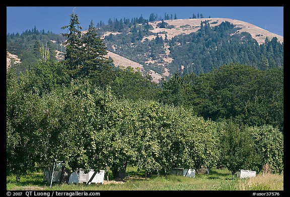 Fruit orchard and hill. Oregon, USA (color)